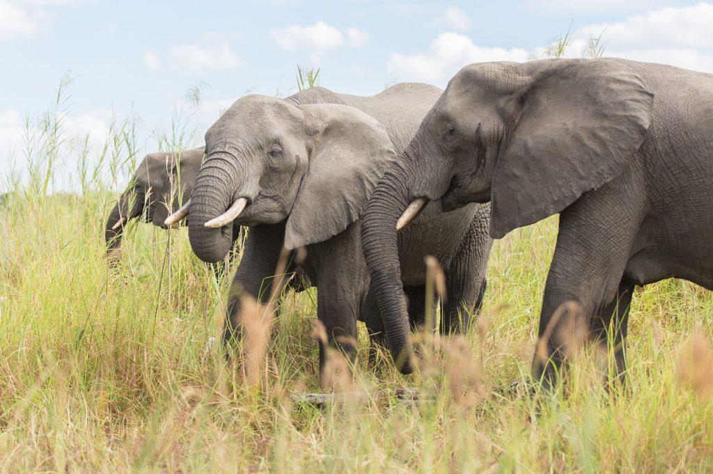 Elephants (Juliet Lemon)